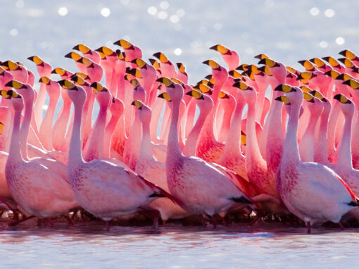 Ébredj, flamingó – weboldal, szövegek